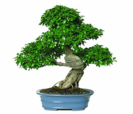 Amazon Com Brussel S Gensing Grafted Ficus Bonsai Plant