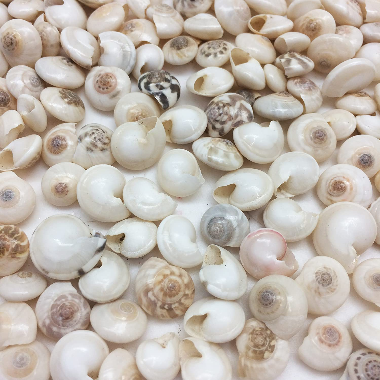 6 Genuine Shell Pins Umbonium XL Button top shells
