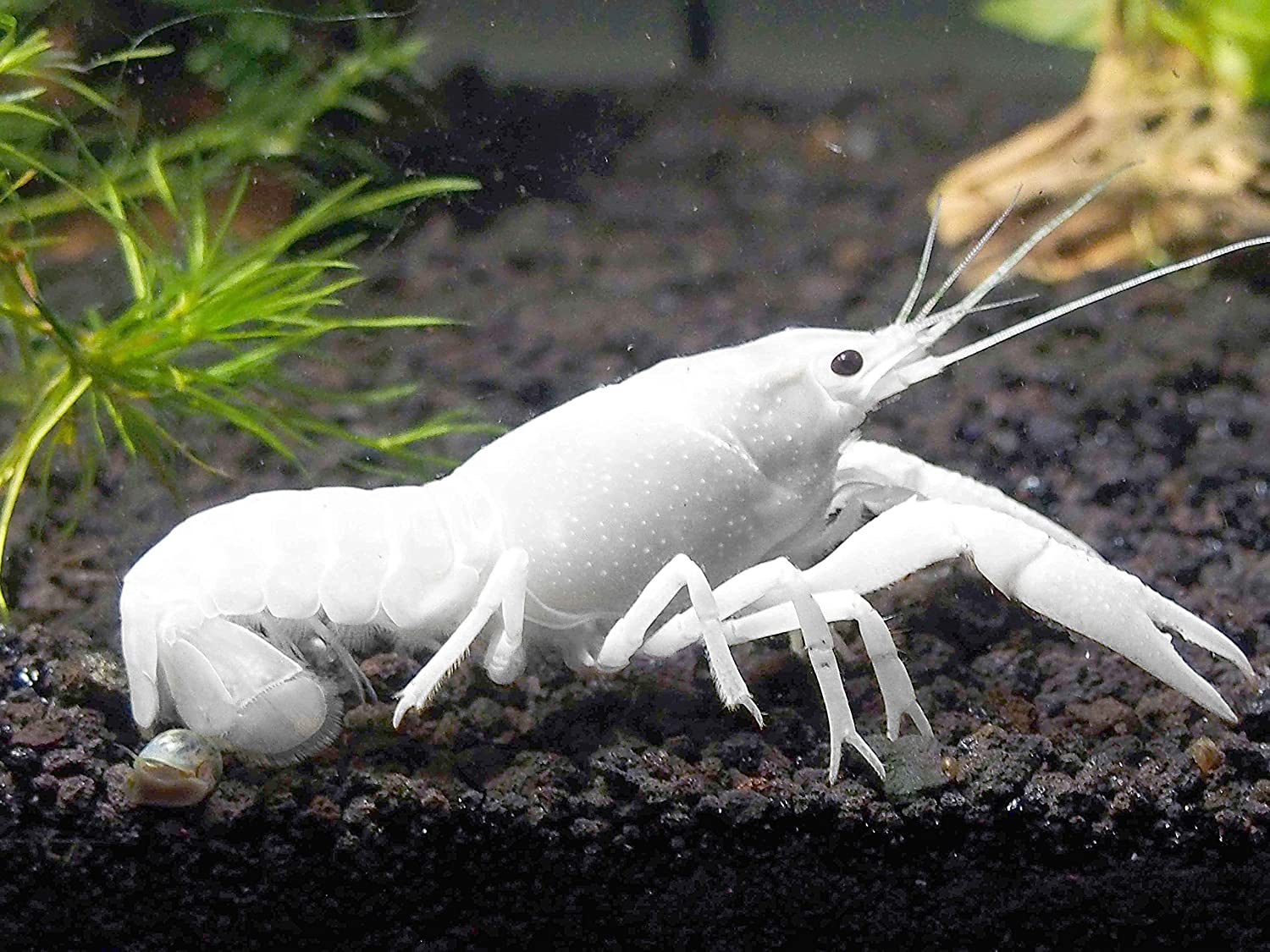 Aquatic Arts 1 Live White Specter Crayfish/Freshwater Lobster (2+