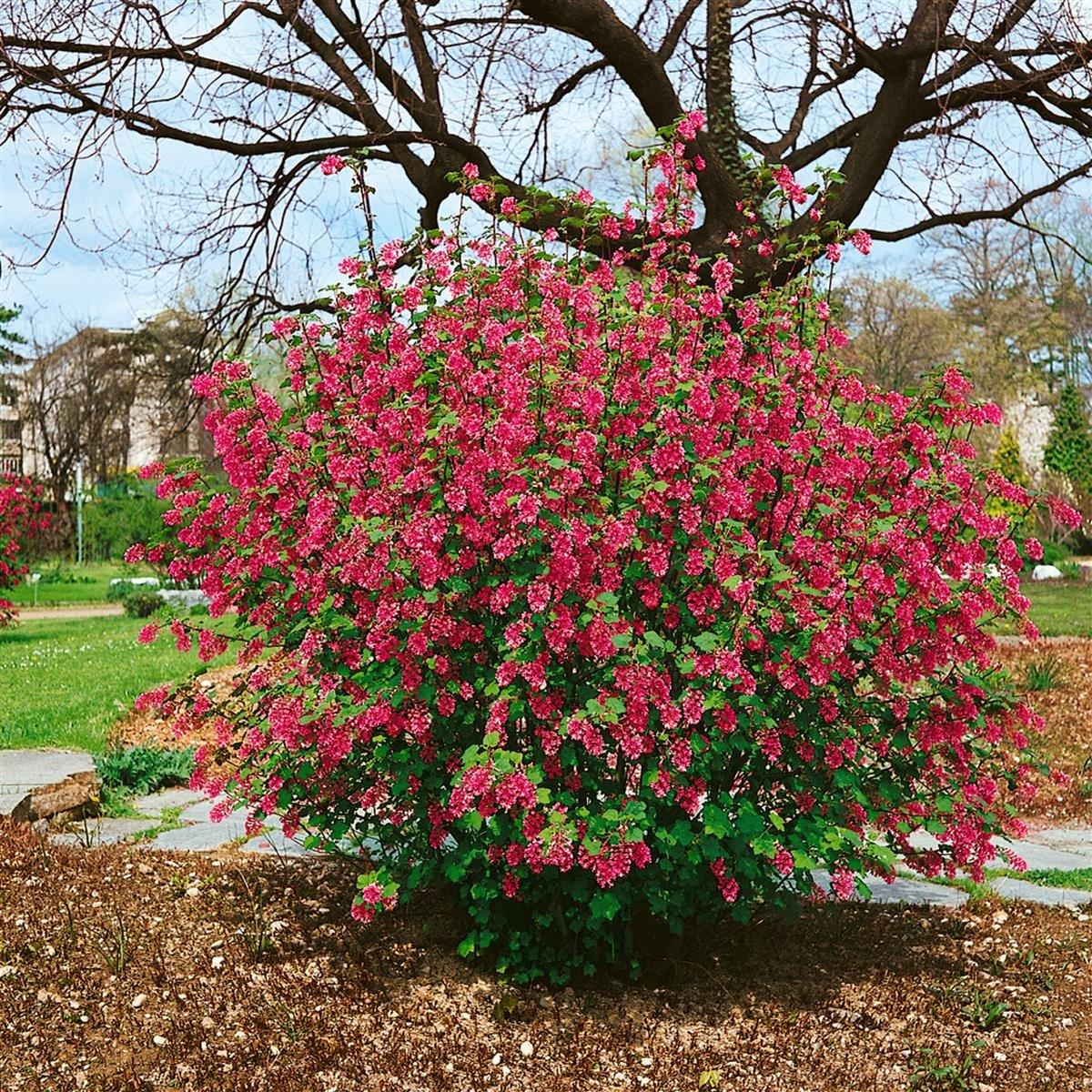 Zierjohannisbeere rosa rot blühend 1 Strauch Amazon Garten