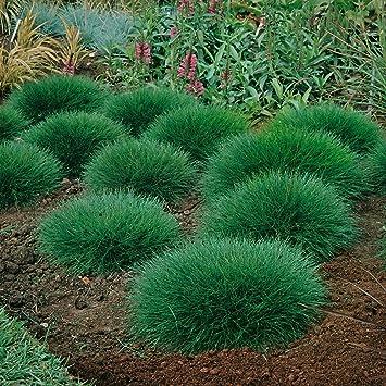 Ziergras Garten bärenfellgras festuca scoparia winterhart immergrün bodendecker