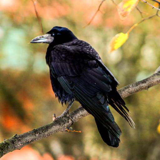 - Crow Sounds
