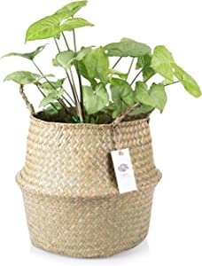 Ecofinia XXL Large Seagrass Belly Basket with Handles – 100% Hand Woven from Sustainably Grown Seaweed – Decorative Basket for Living Room and Bedroom and for Storage of Blankets, Laundry and Toys