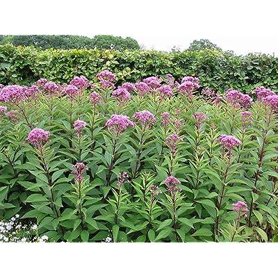 Eupatorium syn Eutrochium purpureum Sweet Joe PYE Weed Seeds! : Garden & Outdoor