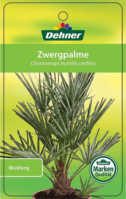 80-90 cm Dehner Zwergpalme /Ø Topf 18 cm ca dornenbesetzte Stiele Palme