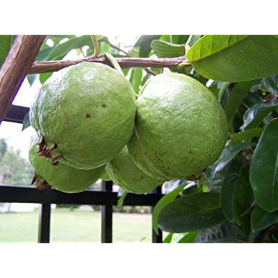 GUAVA Psidium guajava 5 SEEDS : Fruit Plants : Garden & Outdoor
