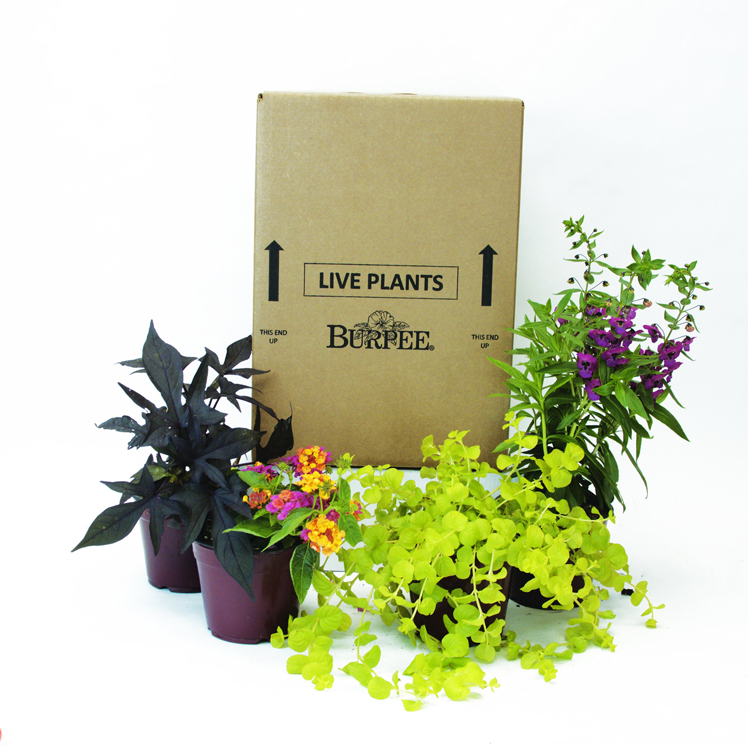 Burpee Combo 'Paradise' - Create Instant Colorful Container Gardens with Eight 4 in. pots by Burpee (Image #1)