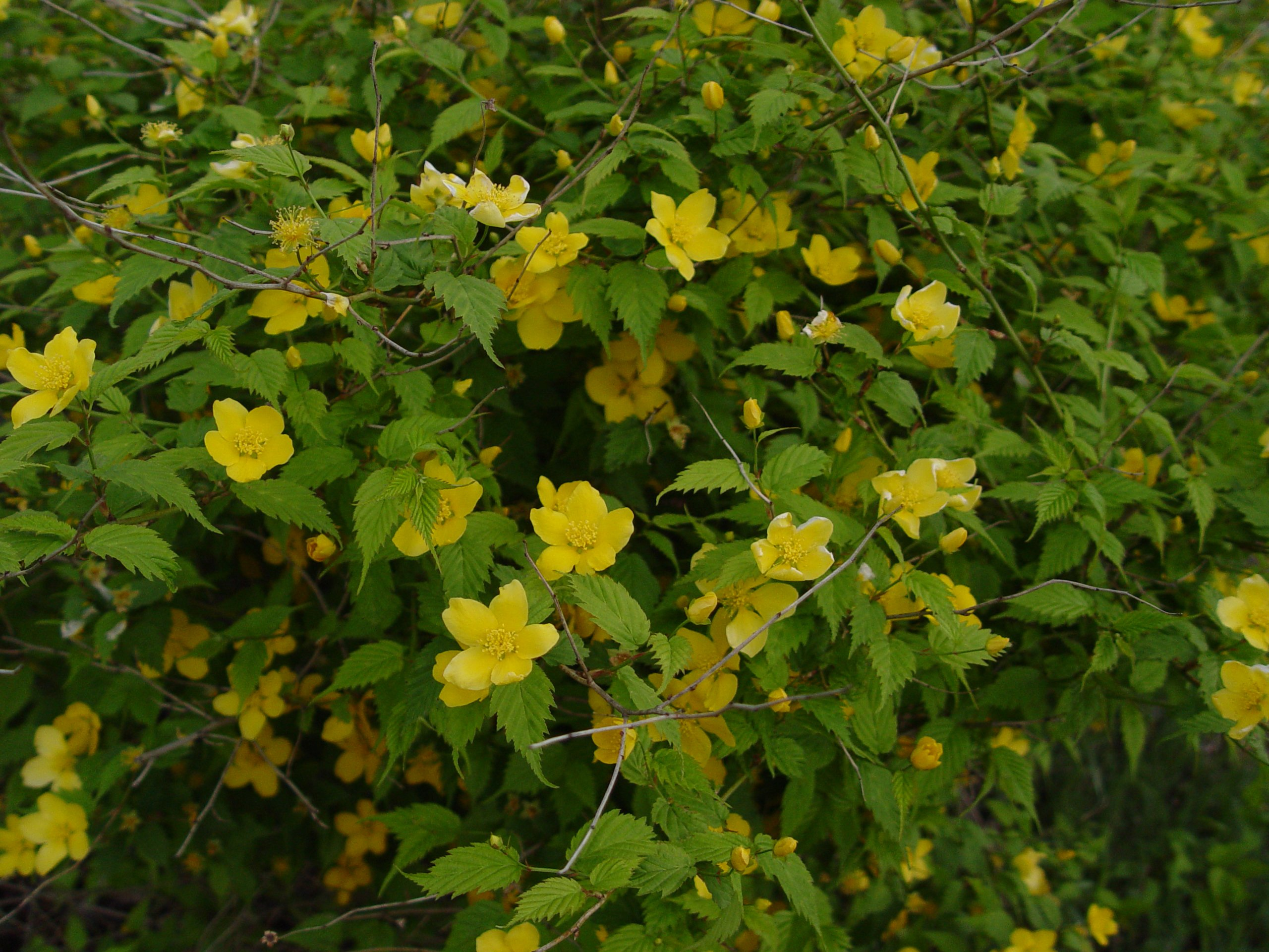 Kerria japonica 'Golden Guinea' (Japanese Kerria) Shrub, yellow flowers, #2 - Size Container by Green Promise Farms (Image #5)