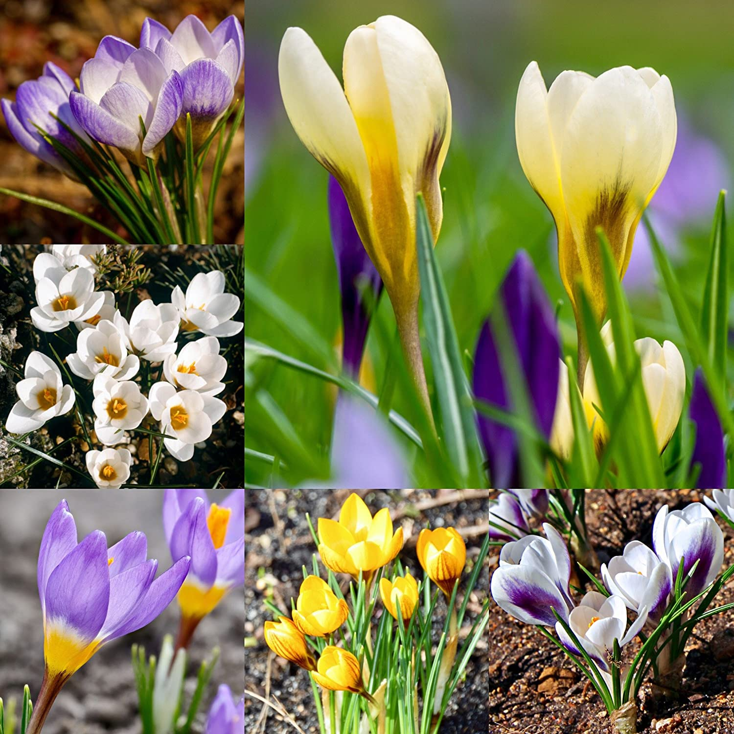 50 x crocus bulbs mixed species spring flowering bulbs amazon 50 x crocus bulbs mixed species spring flowering bulbs amazon garden outdoors mightylinksfo