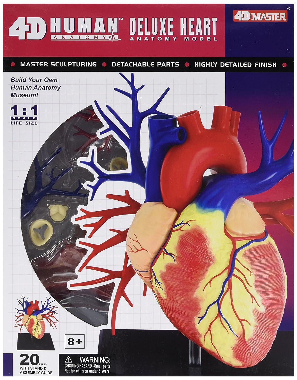 Amazon Tedco Human Anatomy Deluxe Heart Anatomy Model Toys