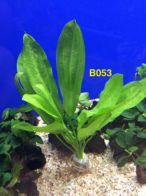 Exotic Live Aquatic Plant for Fresh Water Mayaca fluviatilis Bundle B091 By Jayco **Buy 2 GET 1 FREE