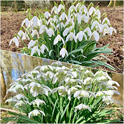 100 x Single Snowdrop Bulbs Galanthus Nivalis Spring Flowering Garden Bulbs