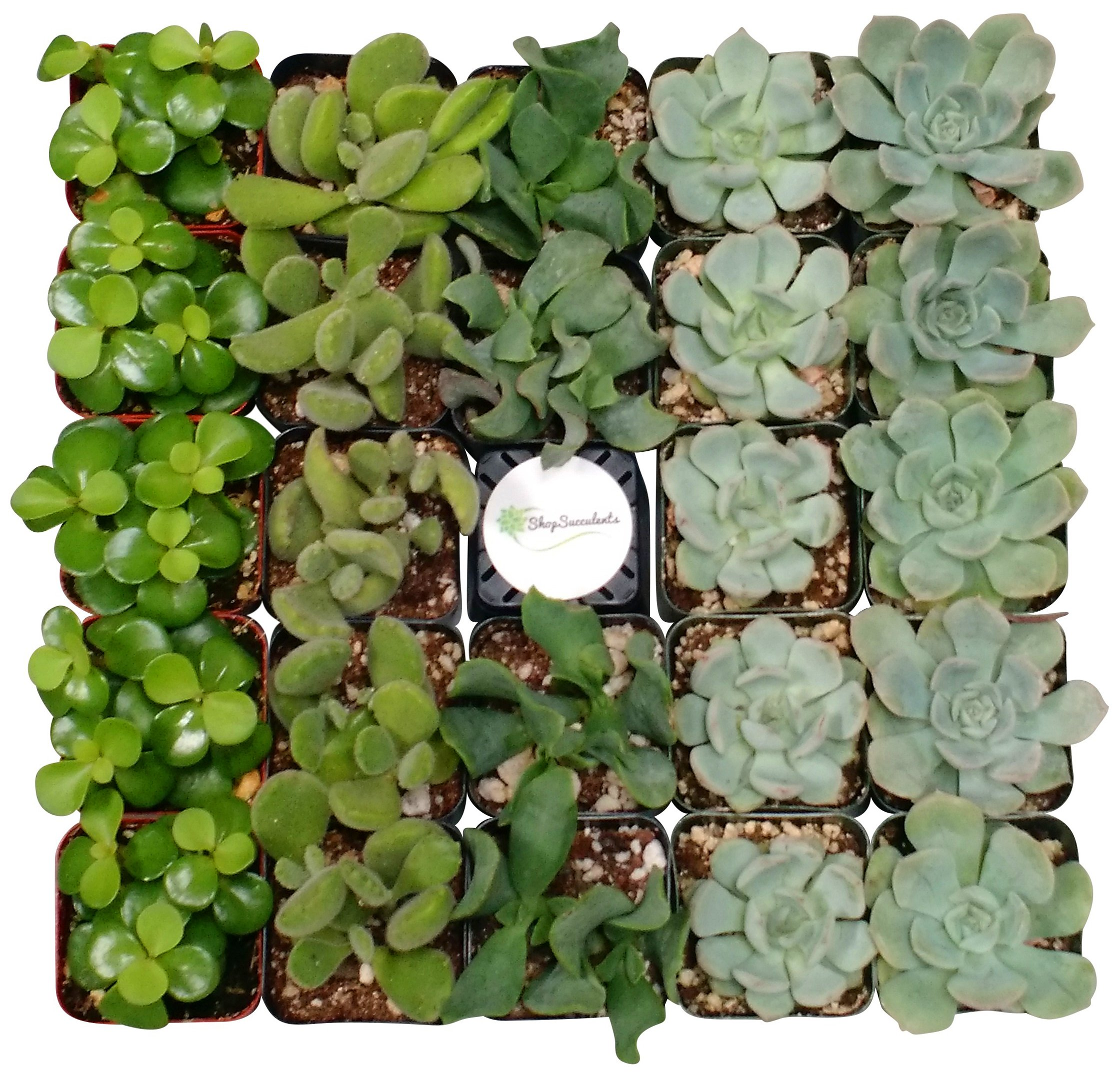 Shop Succulents Green Succulent (Collection of 64)