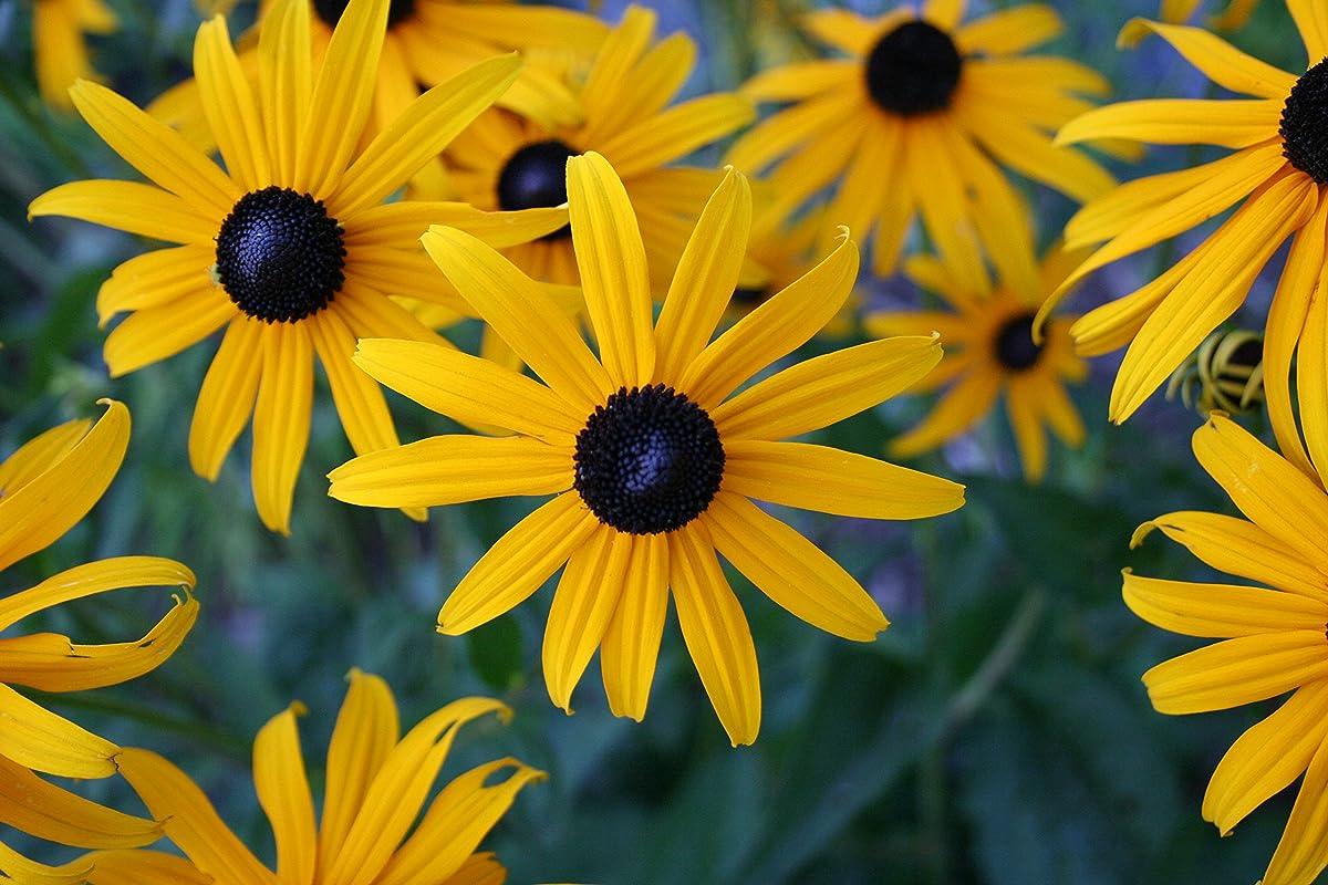 Black Eyed Susan Nice Garden Flower By Seed Kingdom BULK 1 Lb Seeds