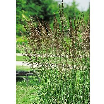 Winterhartes Ziergras weißgestreiftes garten reitgras overdam calamagrostis x