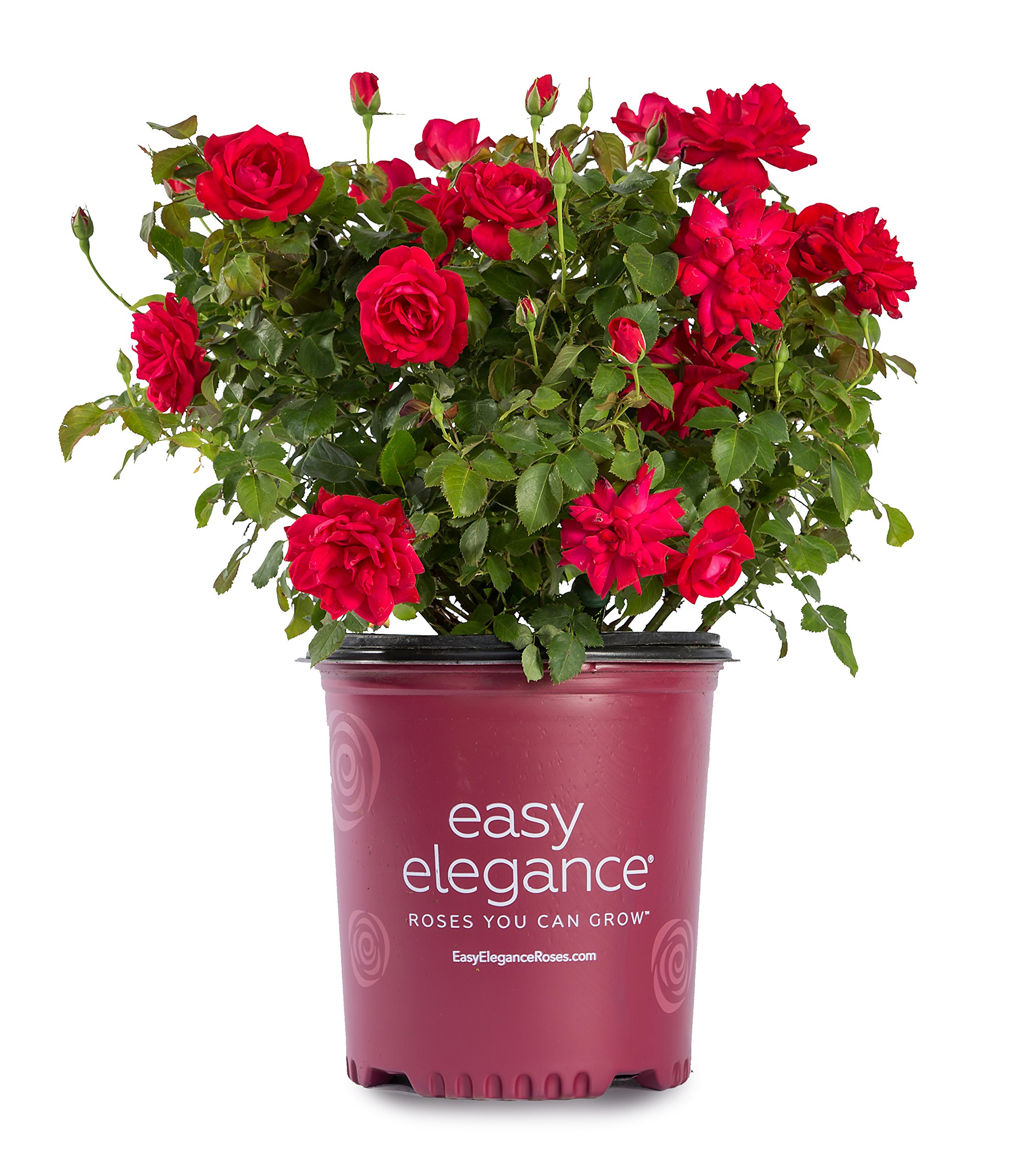 Easy Elegance Roses - Rosa Super Hero (Rose) Rose, red flowers, #2 - Size Container by Green Promise Farms (Image #1)