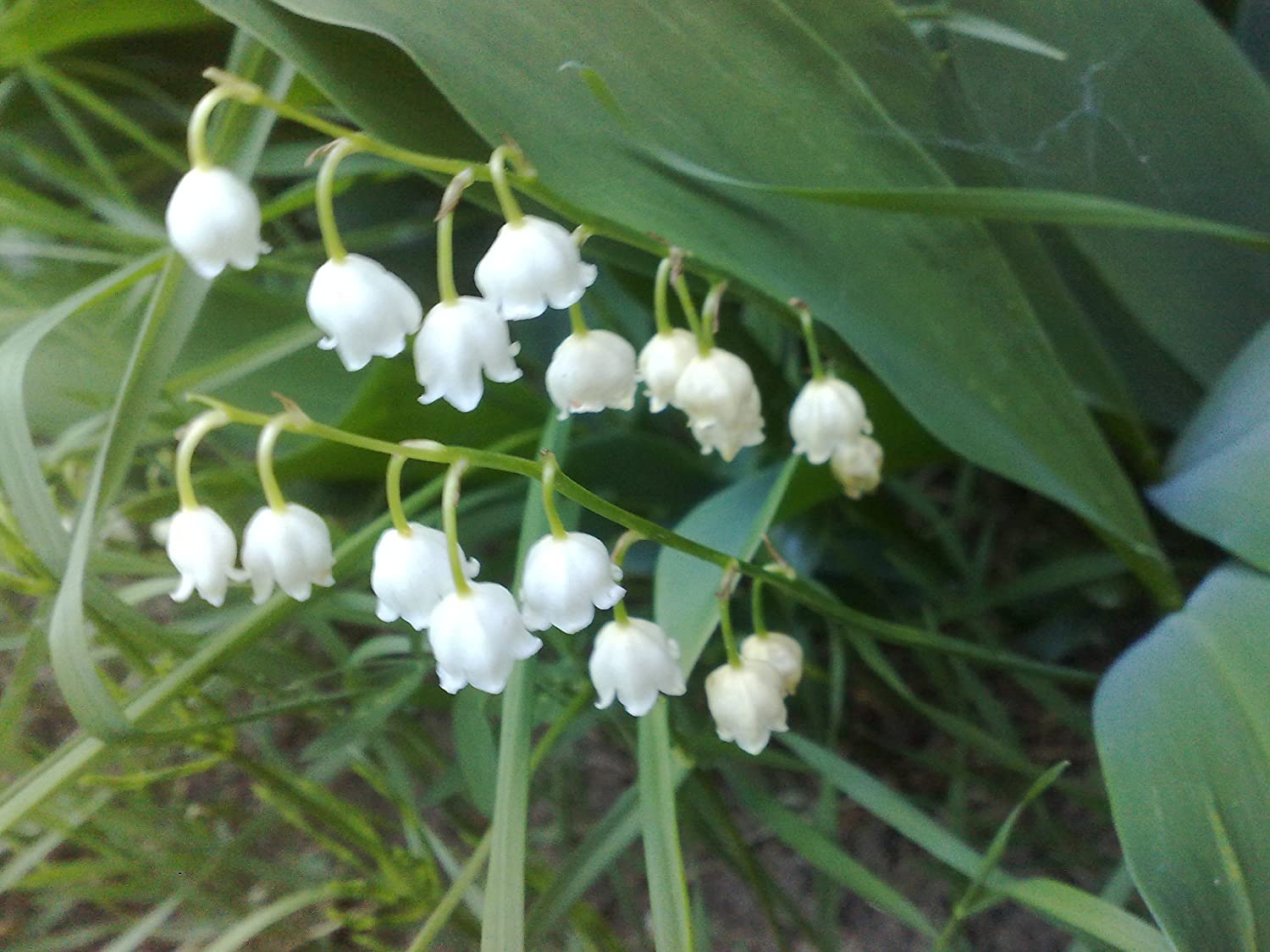 Amazon 20 Lily Of The Valley Bulbs Convallaria Majalis