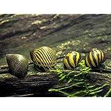 5 Zebra Nerite Snails (Neritina natalensis - 1/2 to 1 inch in Diameter) - Live Snails by Aquatic Arts