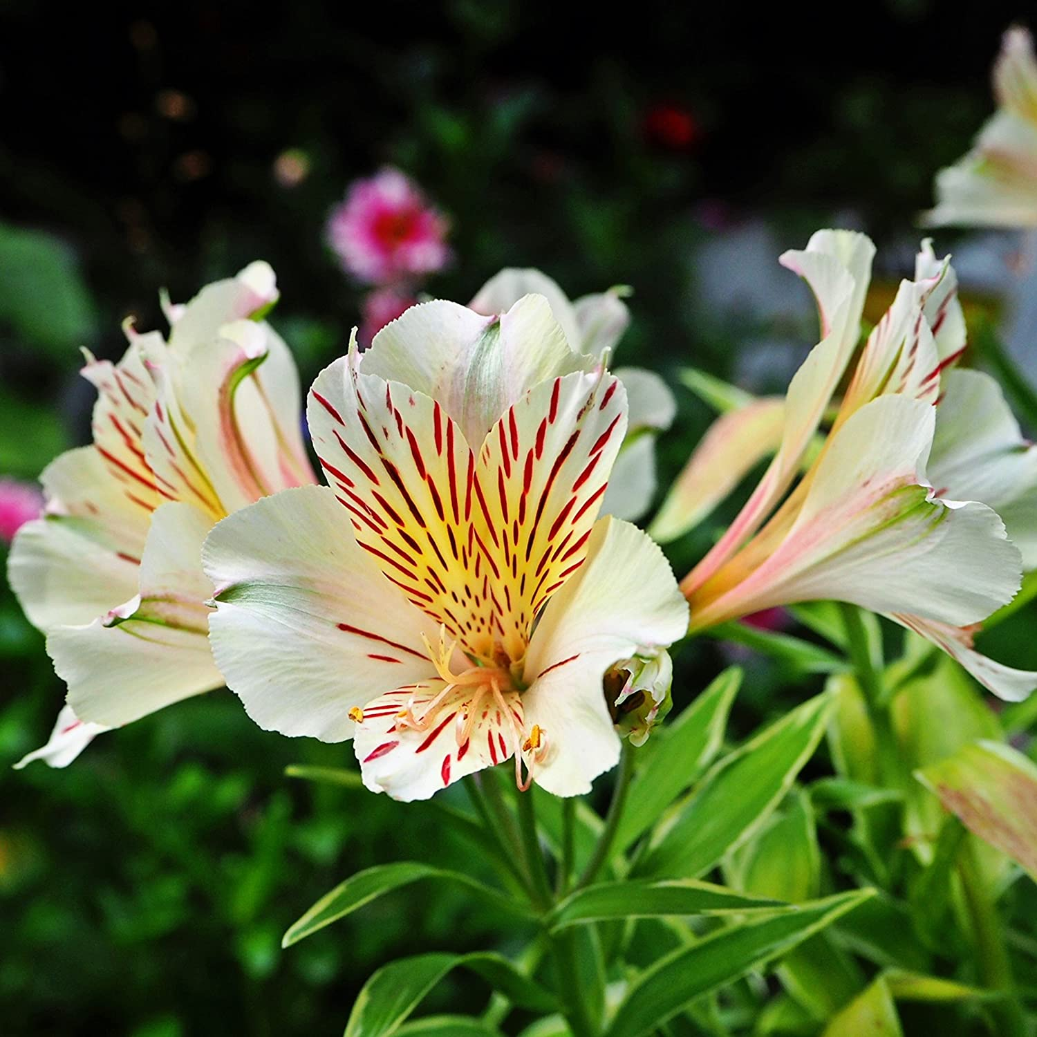 Amazon white dwarf alstroemeria claire peruvian lily amazon white dwarf alstroemeria claire peruvian lily princess lily 1 lush blooming size plant in 4 container ships from easy to grow tm garden izmirmasajfo