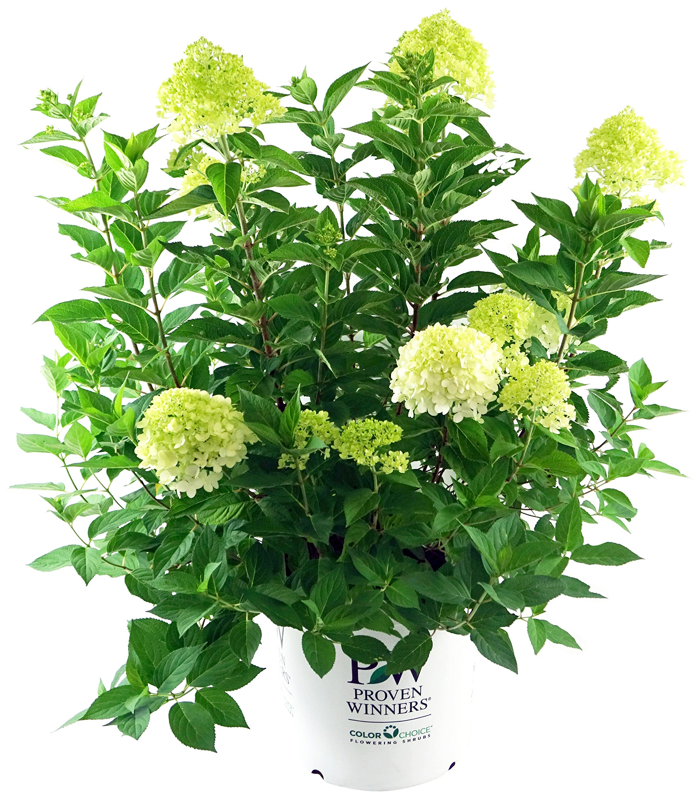 Proven Winners - Hydrangea pan. 'Limelight' (Panicle Hydrangea) Shrub, white/lime to pink flowers, #2 - Size Container by Green Promise Farms