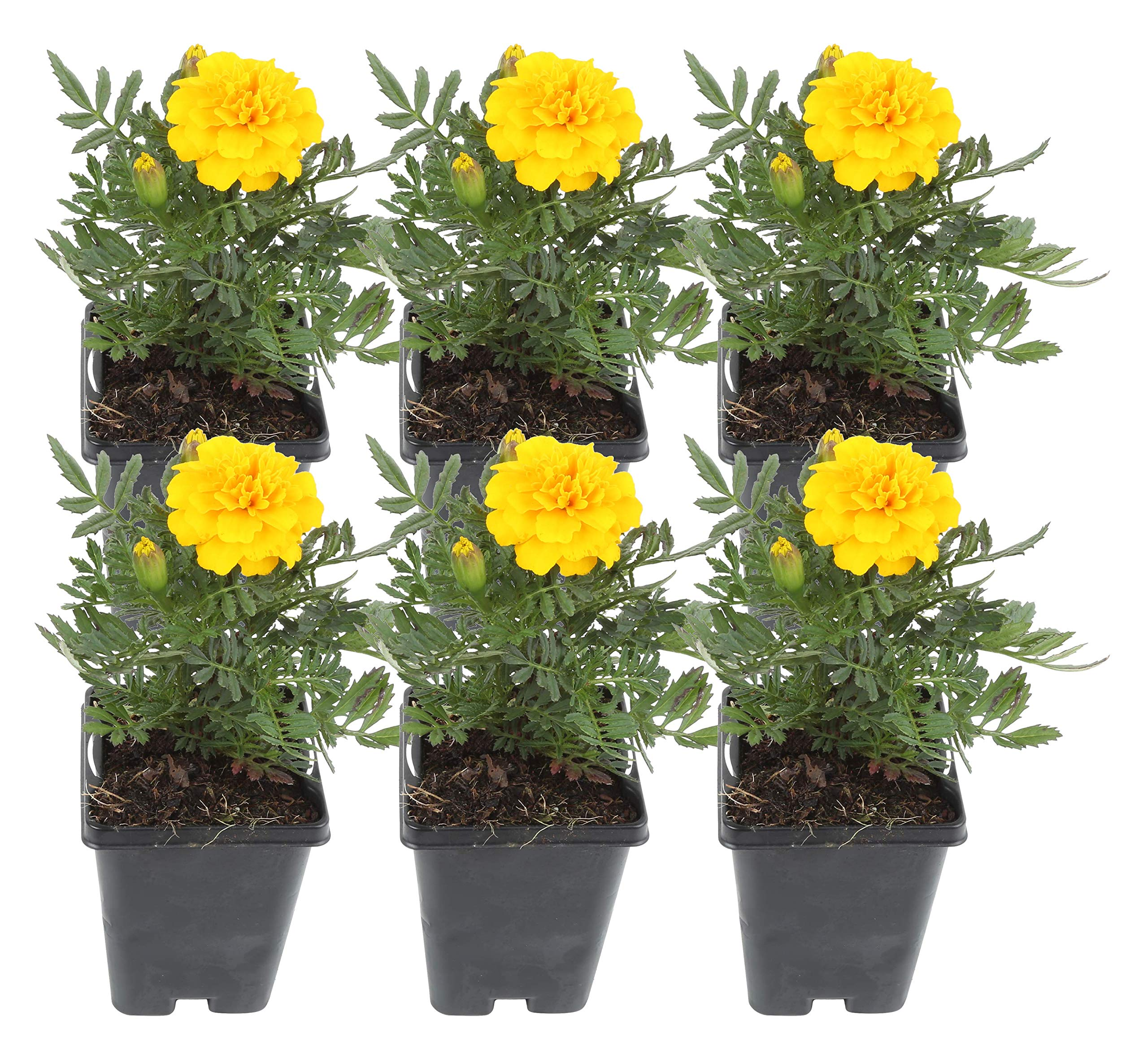 Costa Farms Marigold Live Outdoor Plant 1 PT Grower's Pot, 6-Pack, Yellow