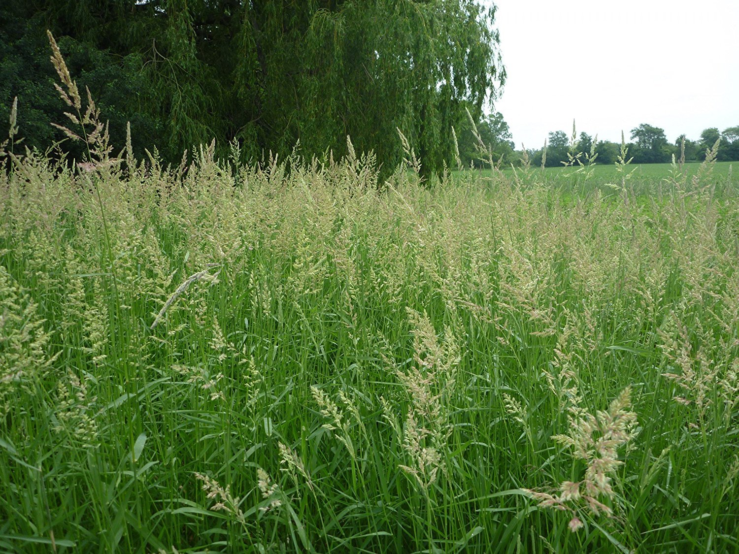 SeedRanch Reed Canary Grass Seed - 20 Lbs.