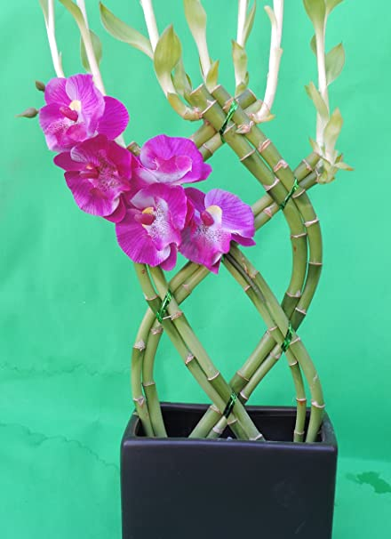 FREE SHIPPING lucky bamboo 8 stalks braided 10/'/' inches tall and 3 /'/' ceramic pot tall black