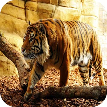 Tiger Android - Best Baby Tiger Image