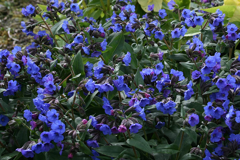 Pulmonaria 'Blue Ensign' : aka lungwort, a garden tested, hardy perennial plant Ballyrobert Gardens