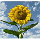 Sow Right Seeds - Jumbo Pack of Skyscraper Sunflower Seeds to Plant (75+ Seeds); Up to 12 Feet Tall! Non-GMO Heirloom Seeds; Full Instructions for Easy Planting; Wonderful Gardening Gifts