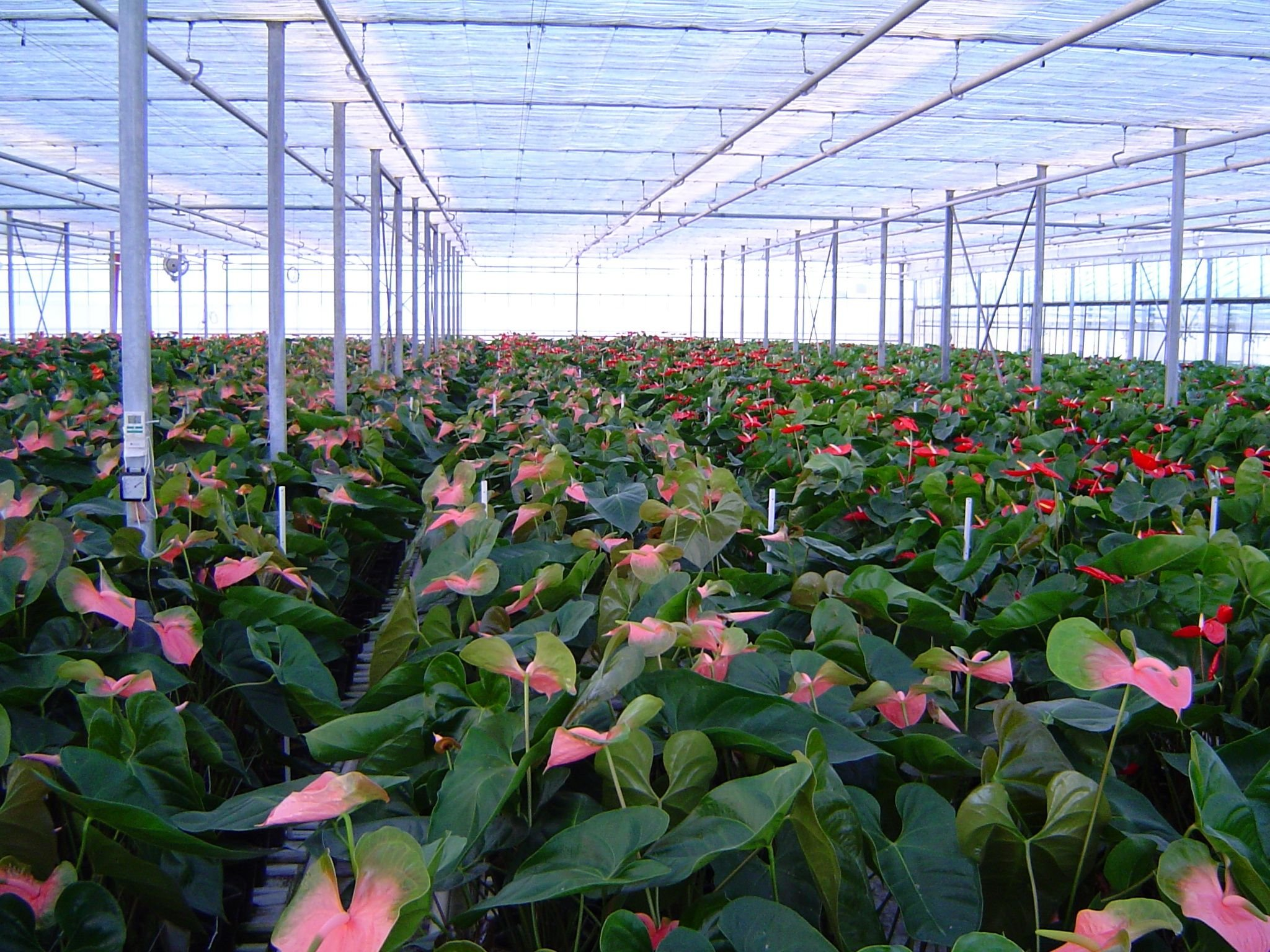 Anthurium Pink - Live House Plant - Easy to Grow - Florist Quality - Cleans the Air by Florida Foliage (Image #3)