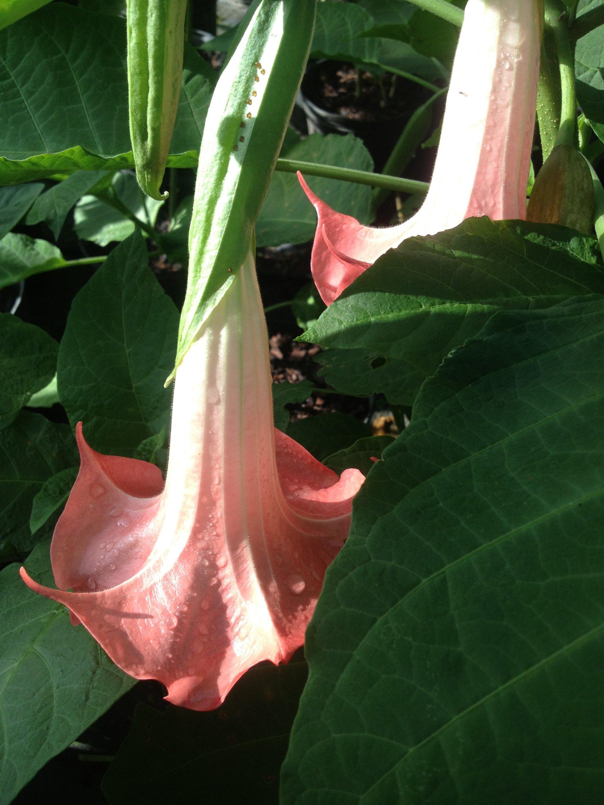 DWARF CHERUB Brugmansia Angels Trumpet Live Tropical Plant Pink Fragrant Flower Starter Size 4 Inch Pot Emeralds TM