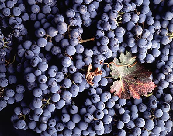 Vitis vinifera Cabernet Sauvignon WINE GRAPE Seeds!