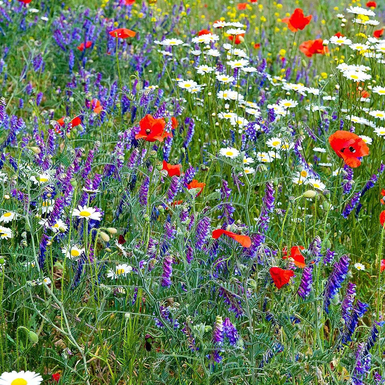 Partial Shade Wild Flower Garden Mix - 1 Lb - Mixture of Wildflower Seeds: Purple Coneflower, Baby's Breath, Columbines, Daisys, More