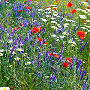 Partial Shade Wild Flower Garden Mix - 1 Lb - Mixture of Wildflower Seeds: Purple Coneflower, Baby's Breath, Columbines, Daisys, More