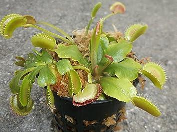 Amazon 3 small venus flytraps fly trap dionaea 3 small venus flytraps fly trap dionaea muscipula carnivorous plant 3 inch ccuart Choice Image