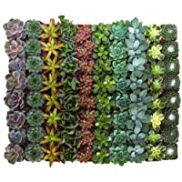 Deals on 40-Pack Shop Succulents Assorted Collection of Live Succulent Plants