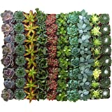 Shop Succulents | Assorted Collection | Variety Set of Hand Selected, Fully Rooted Live Indoor Succulent Plants, 100…