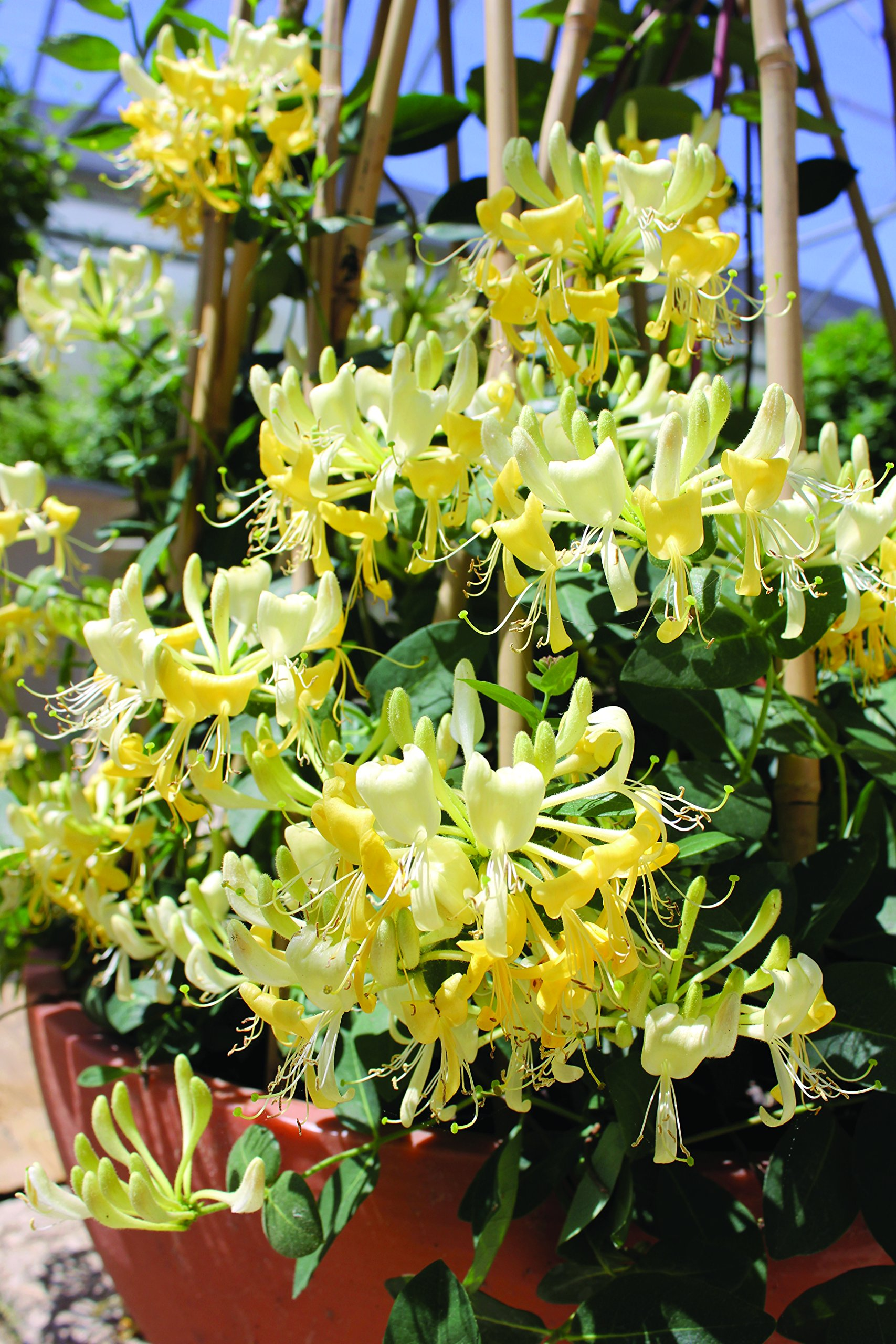 Scentsation Honeysuckle Lonicera Live Shrub Yellow Flowers And