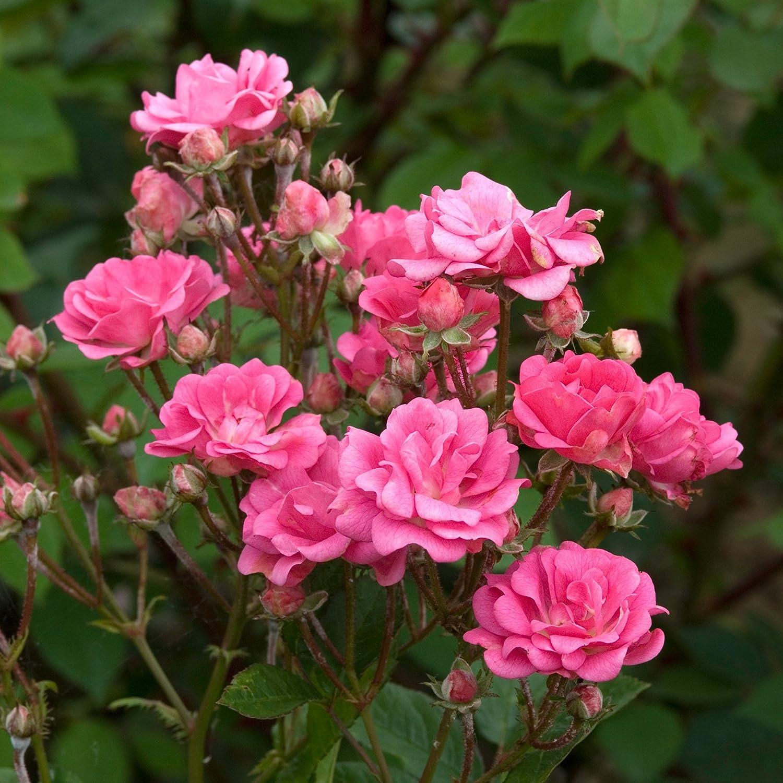 Image result for pink rose plant