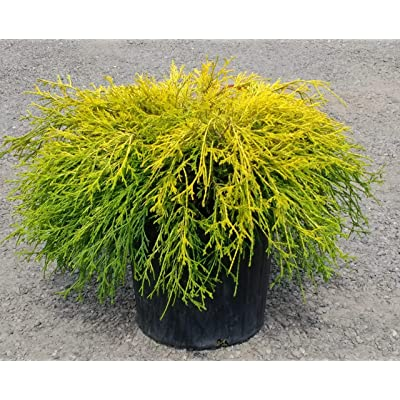 Gold Mop Cypress - Dwarf Golden Evergreen Shrub - 3 Gallon Size : Garden & Outdoor