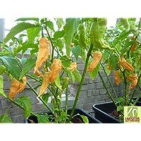 Liveseeds - Jay's Ghost Scorpion Peach Chilli 10 x seeds
