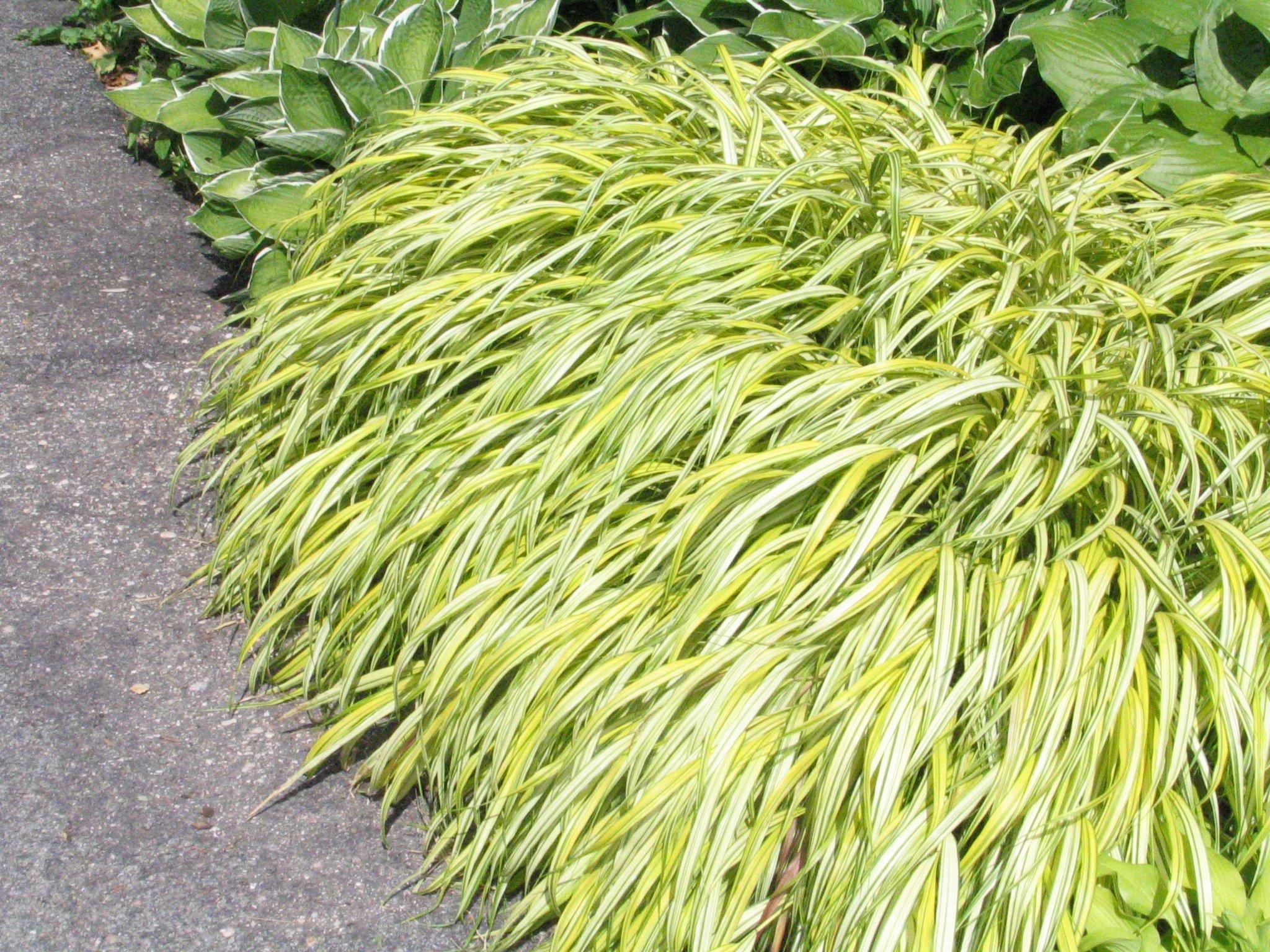 Golden Japanese Forest Grass (Hakonechloa m. 'Aureola'), 1 Gal