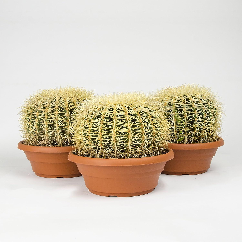 BOTANICLYZimmerpflanze Schwiegermutterstuhl oder GoldkugelkaktusHöhe:...