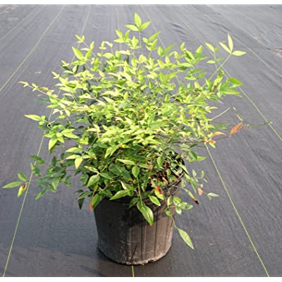 Dwarf Spreading Heavenly Bamboo aka Nandina domestica 'Harbour Dwarf' Live Plant Fit 1 Gallon Pot : Garden & Outdoor