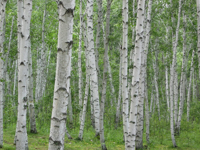 AGROBITS Birke Baum 75 Samen Wei/Ã/Ÿe Birke Hartholz Groco Us Usa Excellent Holz