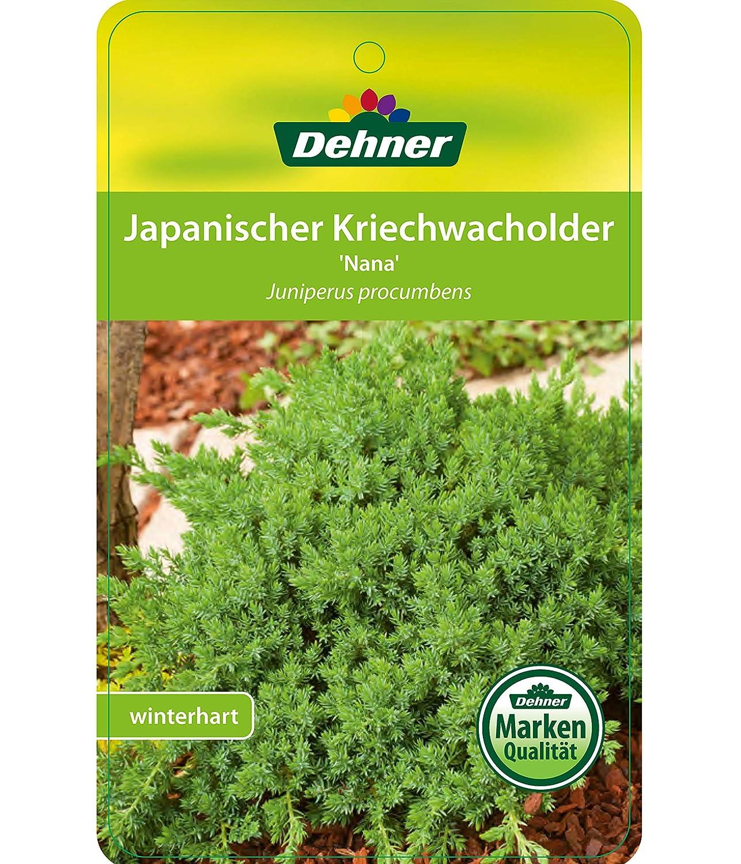 ca Dehner Japanischer Kriech-Wacholder Nana Zwergstrauch / blau-gr/üne Nadeln 25-30 cm