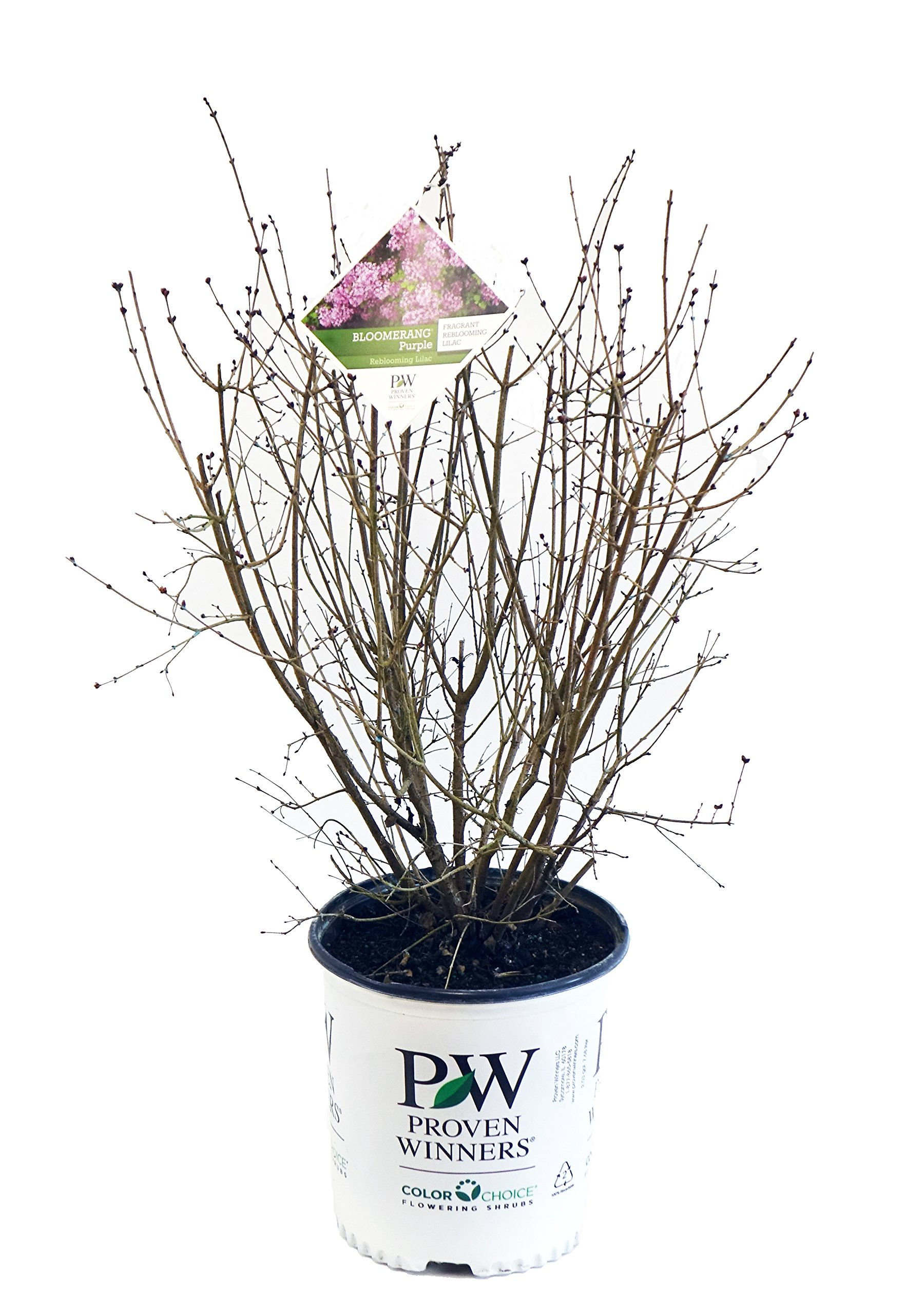 Proven Winners - Syringa x Bloomerang Purple (Reblooming Lilac) Shrub, purple flowers, #2 - Size Container
