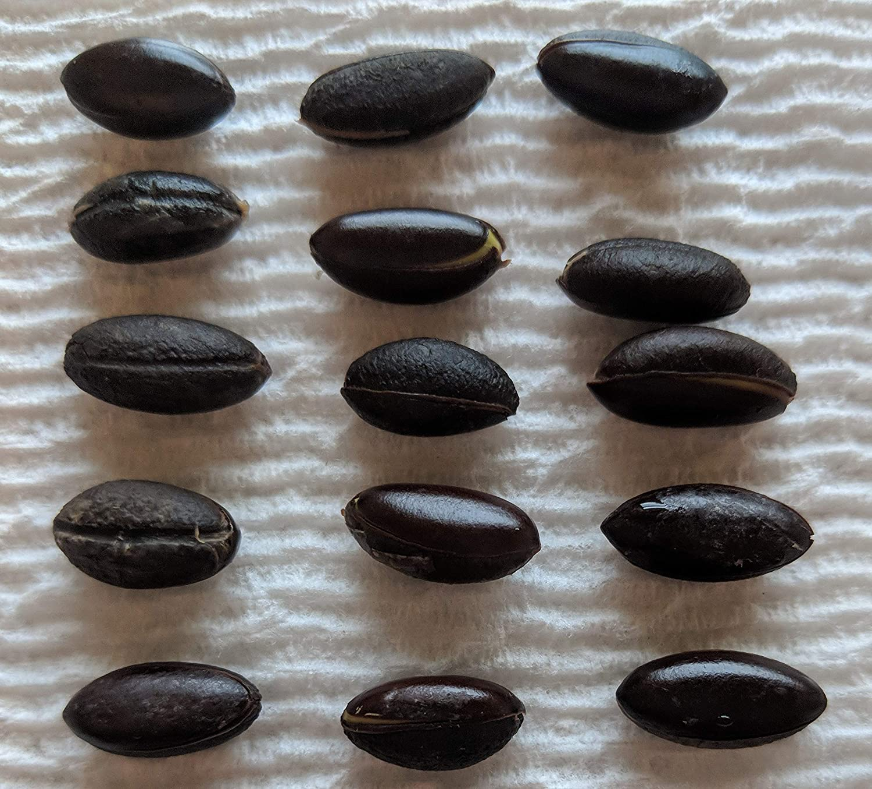 15 Miracle Fruit Seeds (Synsepalum Dulcificum) - wachsen Ihre besitzen Miracle Fruit Plants - Fruit Turns Sour zu Sweet