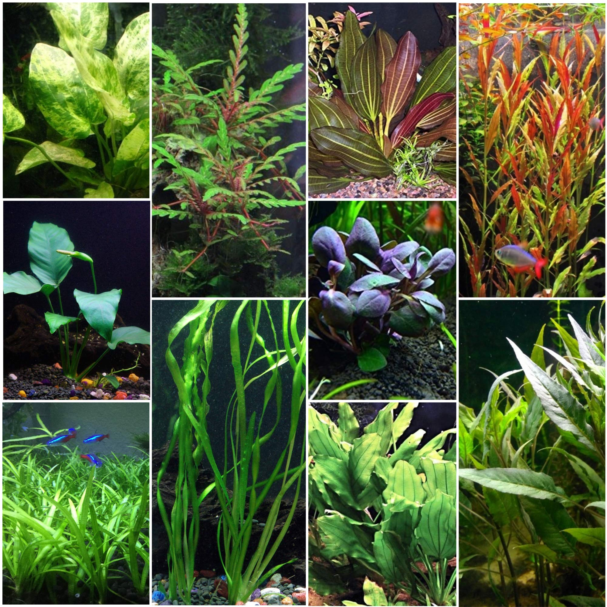 Florida 10 Species Live Aquarium Plants Bundle by AquaLeaf Aquatics